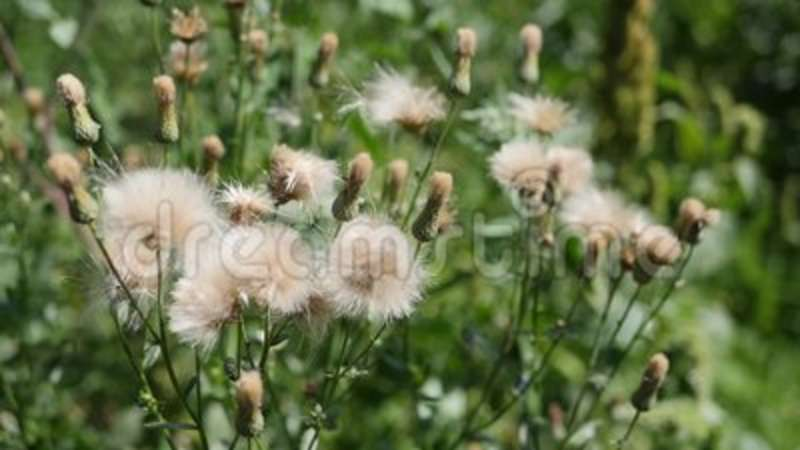 White thistle flowers stock footage image of grass plants 98536240 mightylinksfo