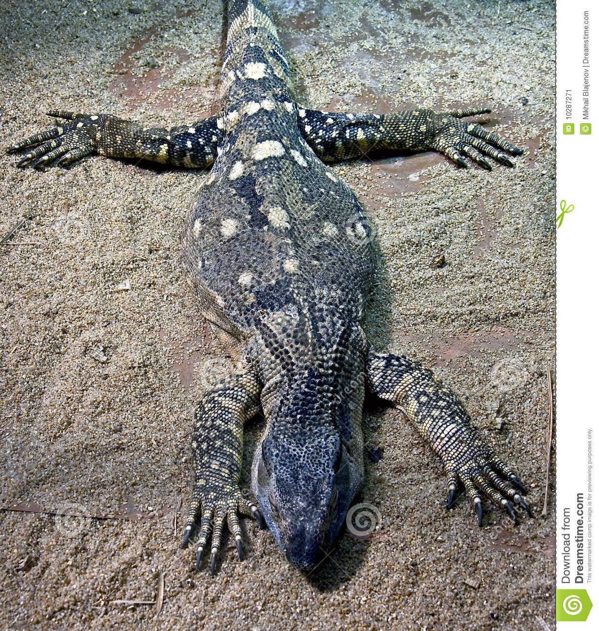 White Throat Monitor Lizard