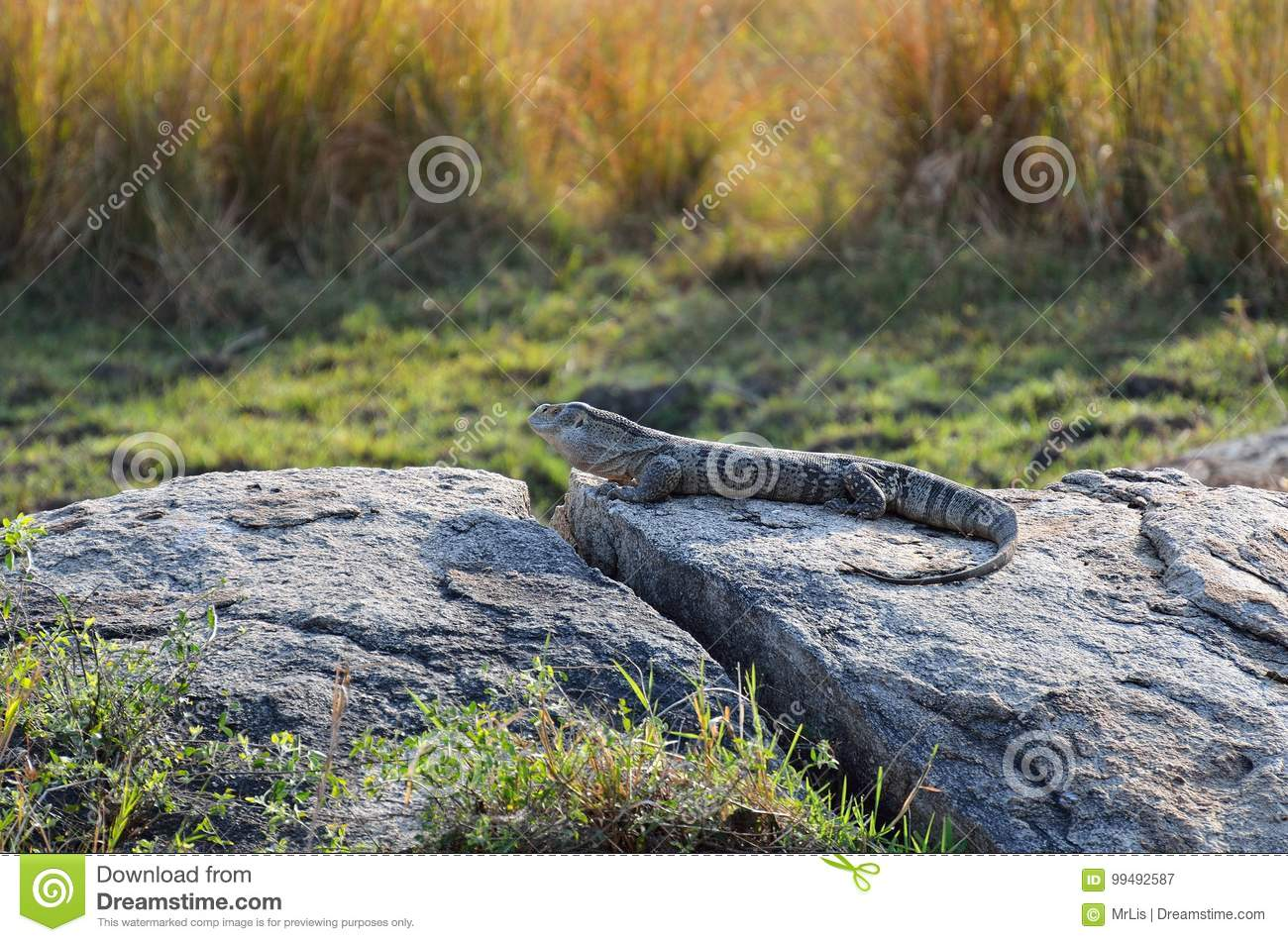 White Throated Monitor In The Kruger National Park South Africa