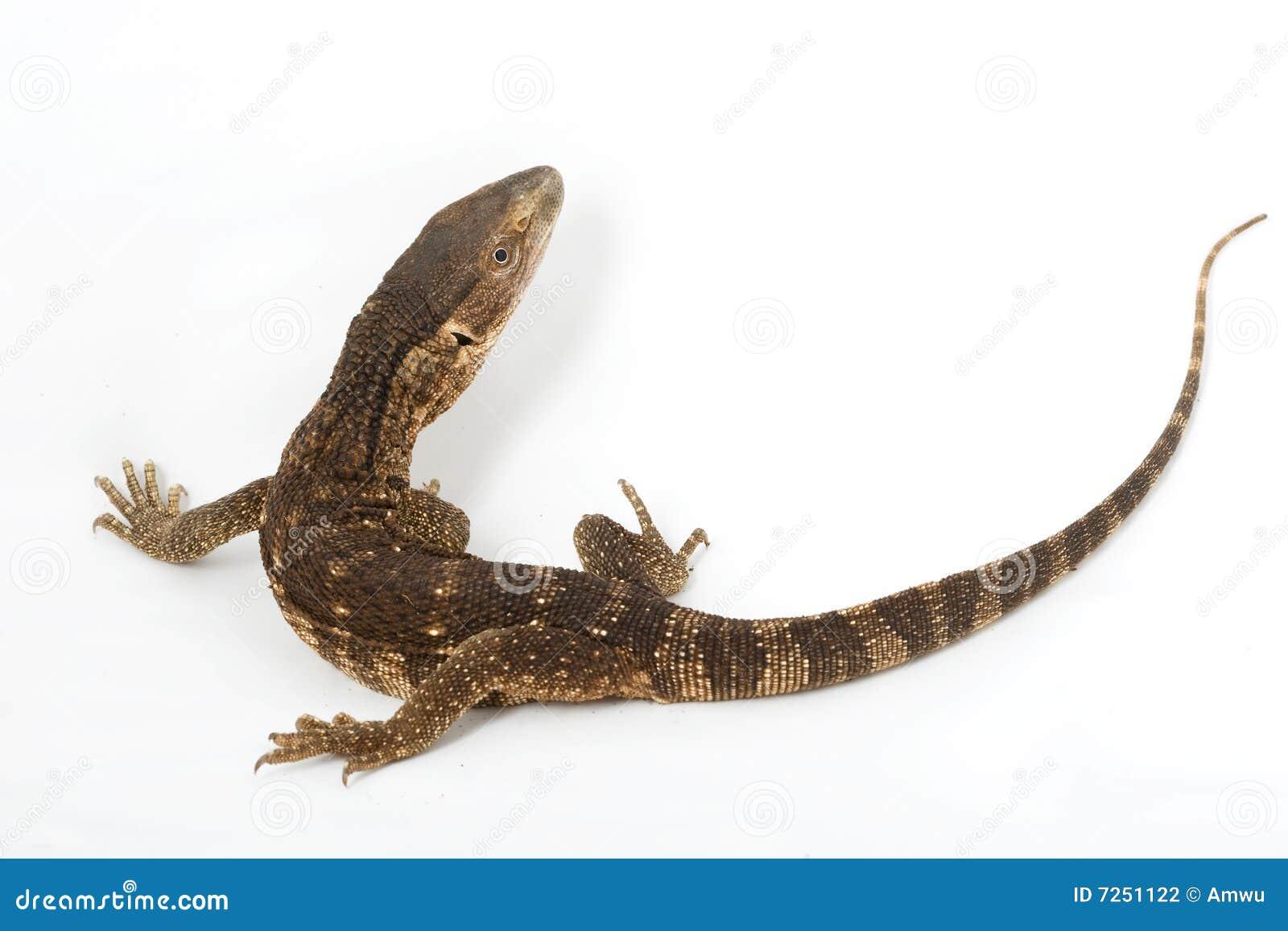 White-throated Monitor Lizard Stock Photo - Image of ...