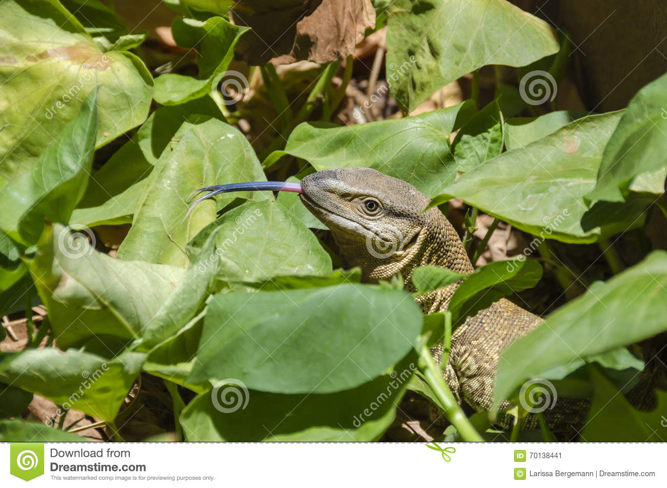 White Throated Monitor Stock Image Image Of Dragon Monitor 70138441