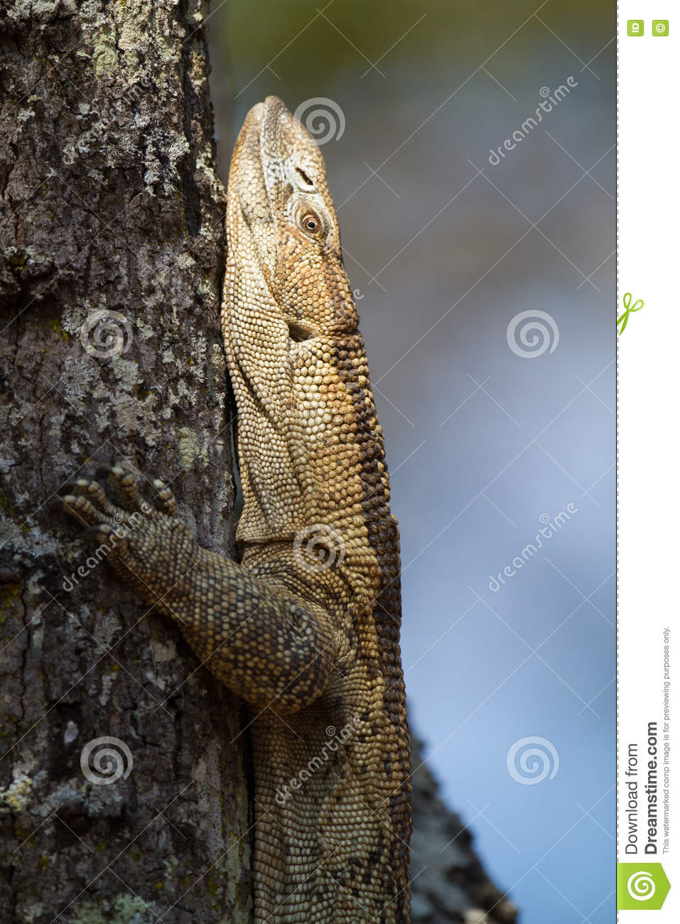 White Throated Monitor Lizard In Tree Stock Photo Image Of Forest