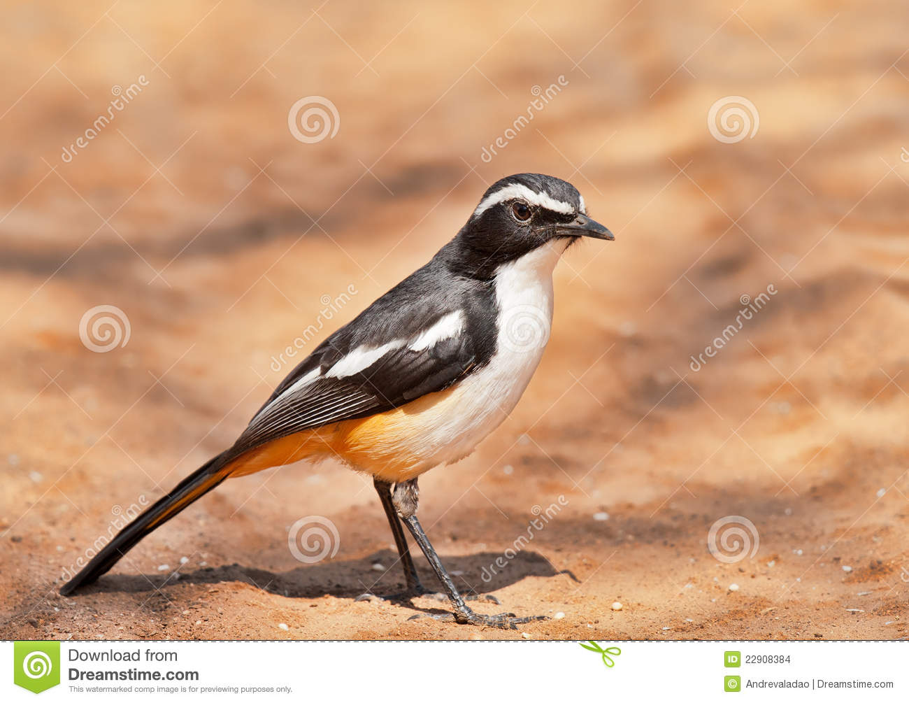 White Throated Robin Chat Stock Images Image 22908384