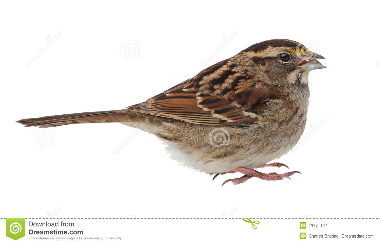 White Throated Sparrow Isolated Royalty Free Stock