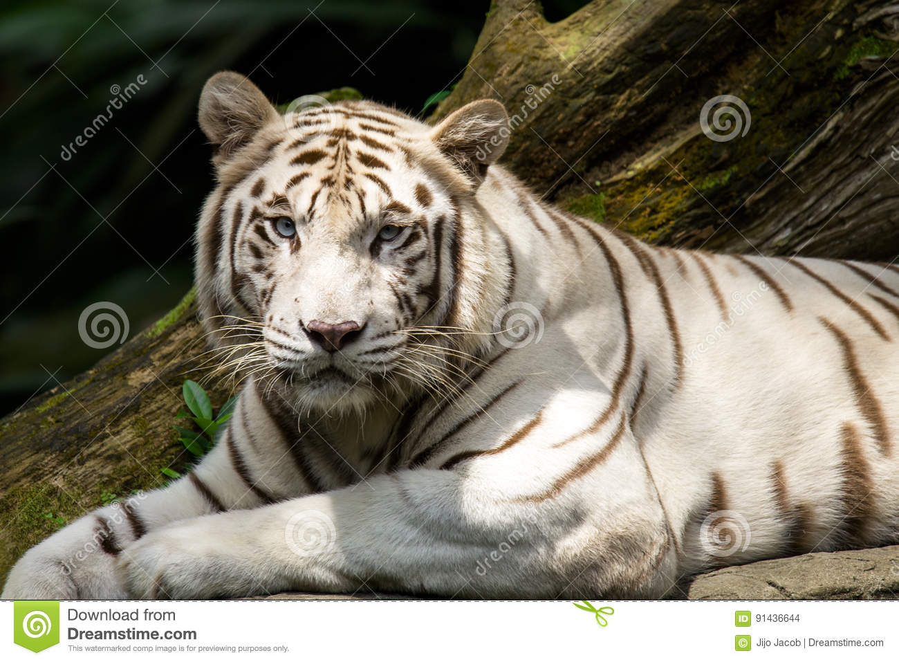 white tiger stock photo image of relaxingtiger, tigertigerblackwhite tiger,bengal white tiger,bleached tiger,tiger,black and white tiger,white tiger face,lying tiger,tiger face,tiger relaxing,tiger ready for attack