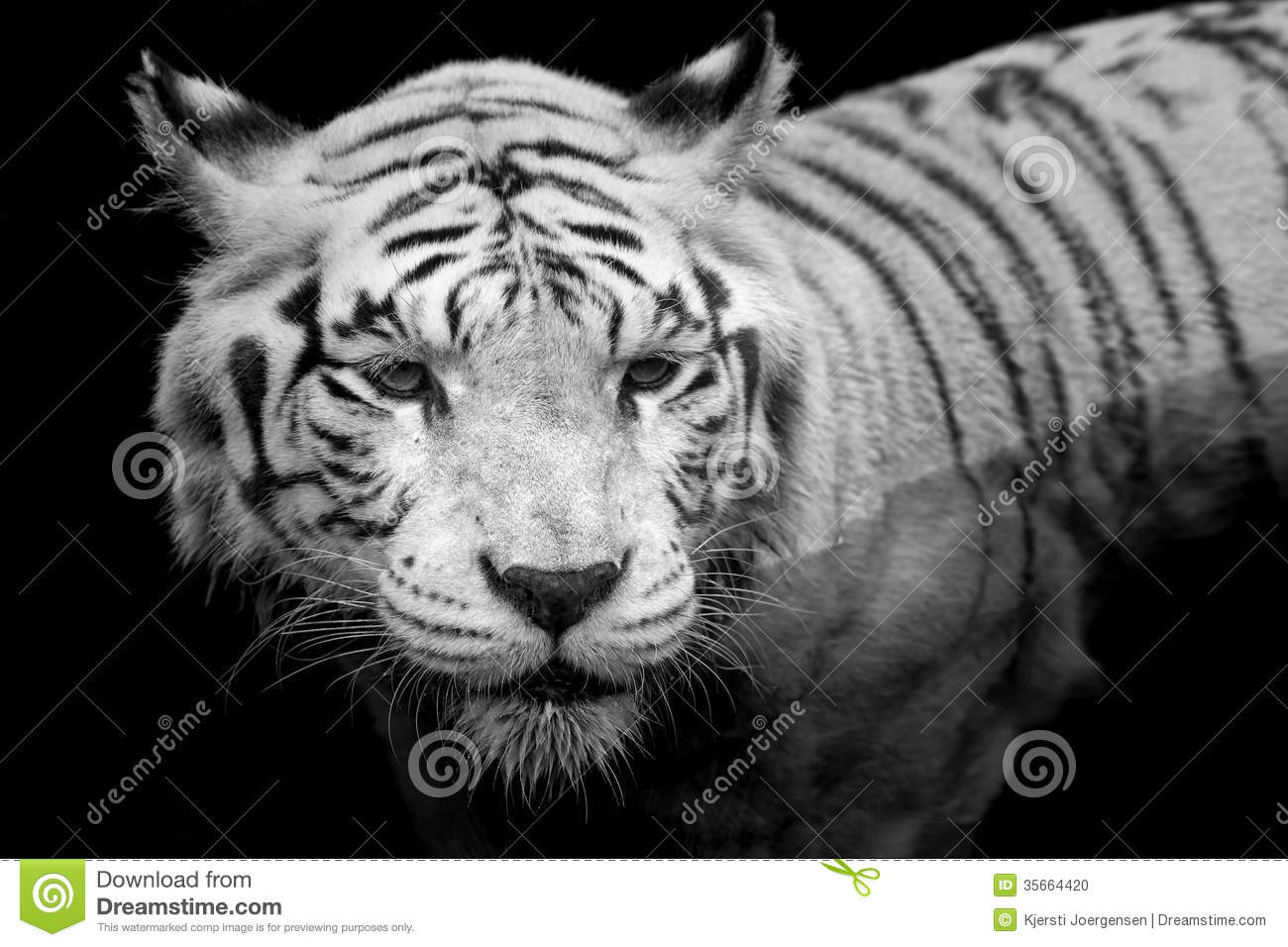 White Tiger Face Growling | www.pixshark.com - Images ...