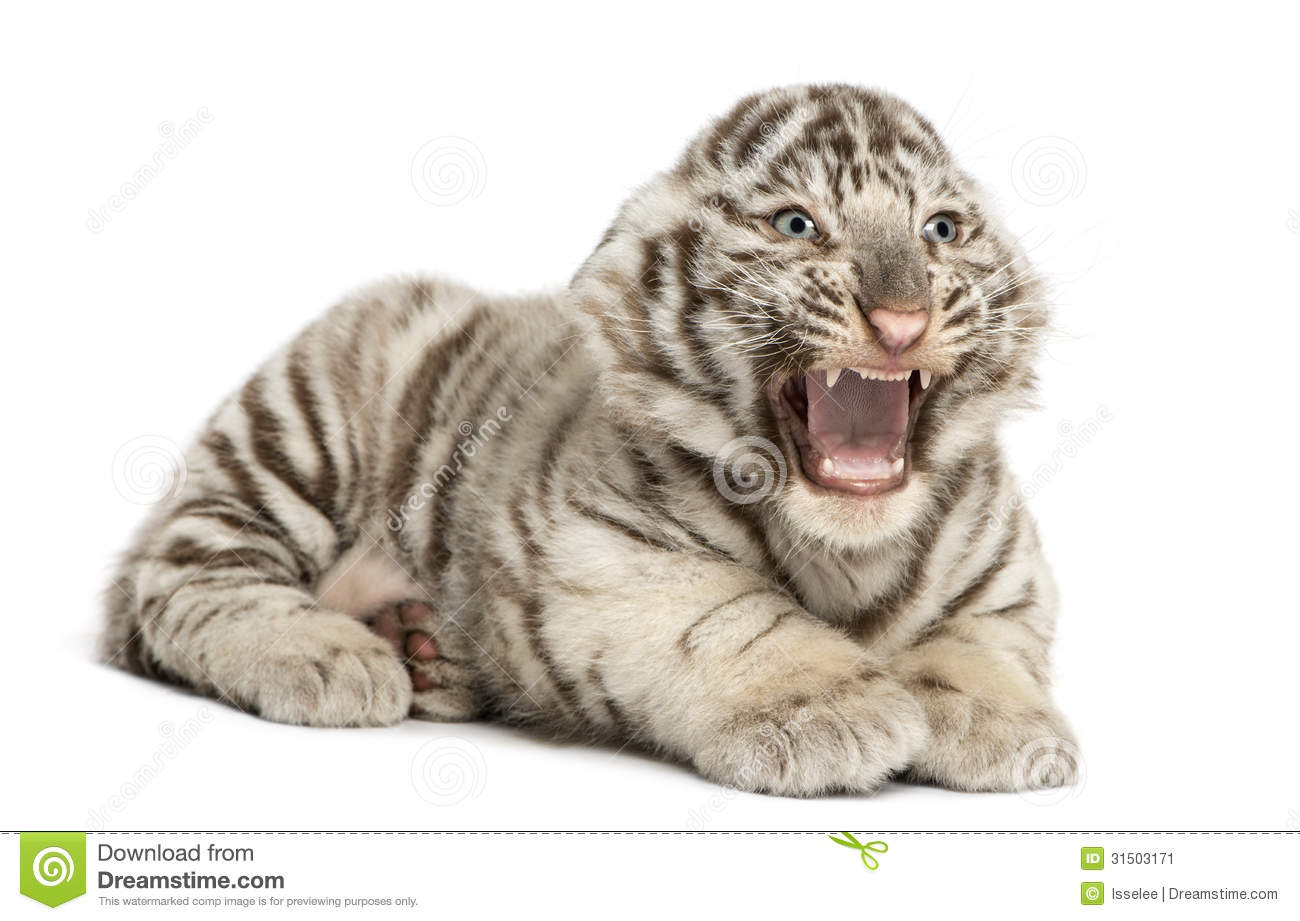 white tiger roaring stock photo. image of panthera, tigris - 14021032
