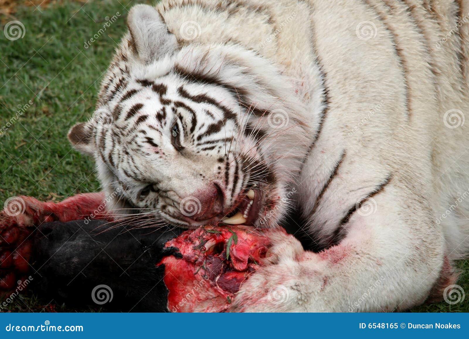 White Tiger Eating