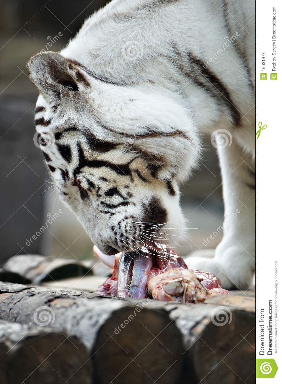 White tiger eats meat ...