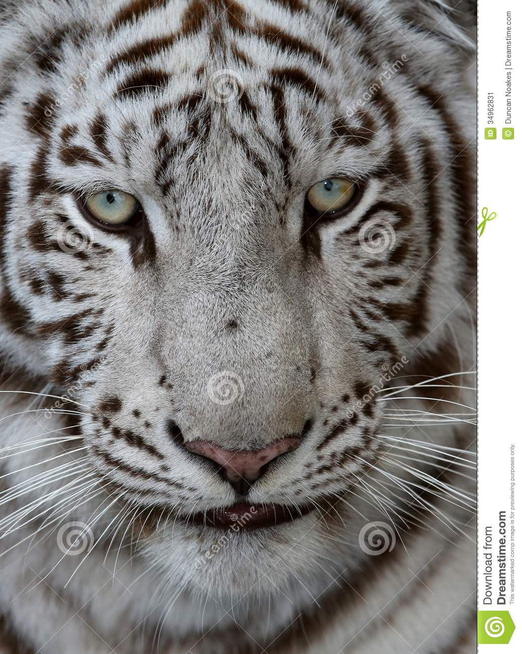 White tiger close up face - photo#16