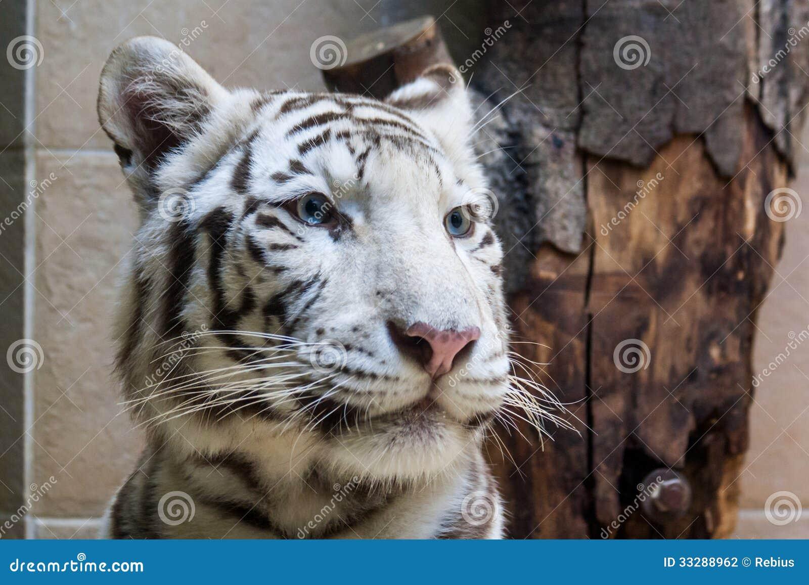 White Tiger Face Blue Eyes