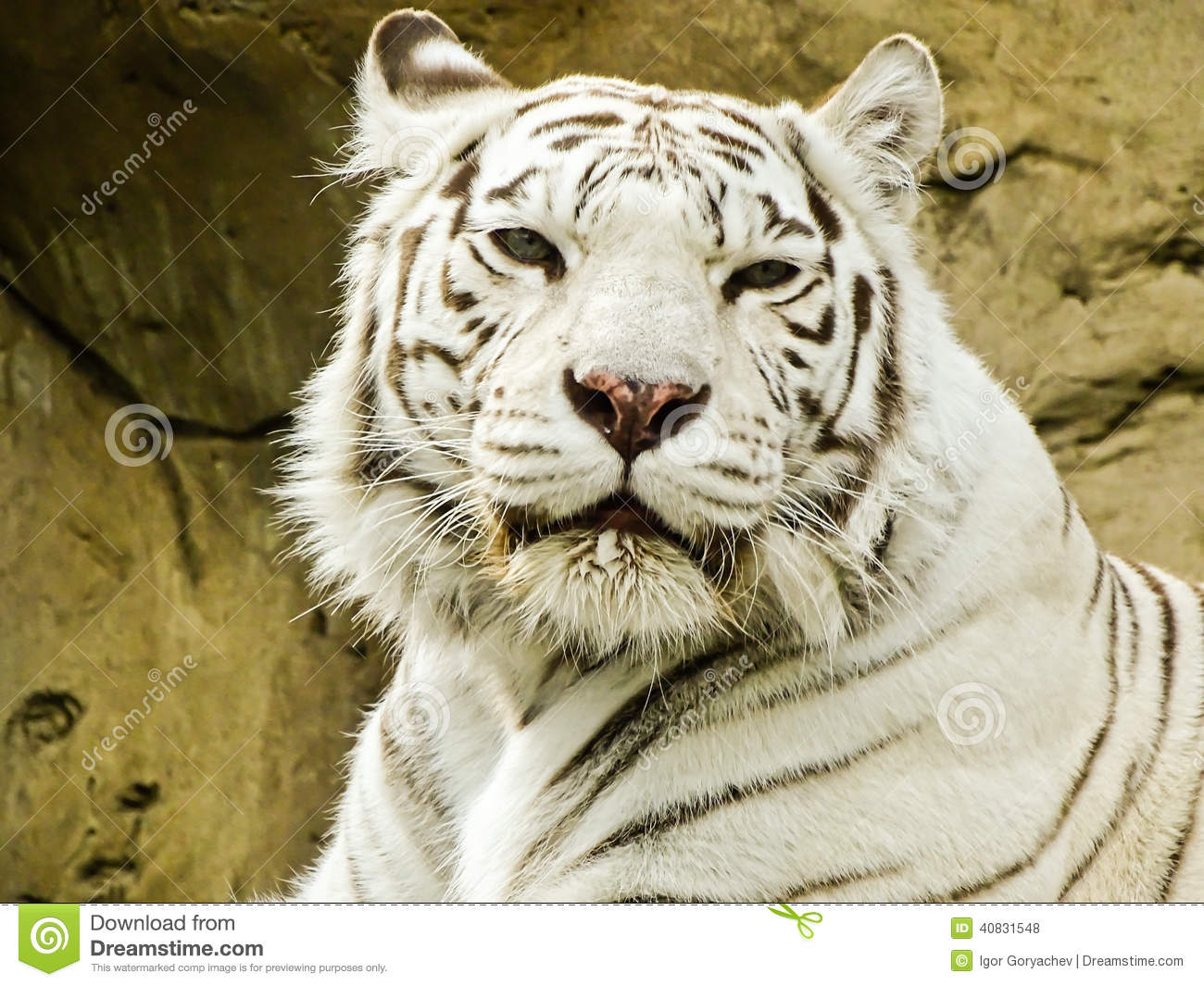 Zoologist With White Tiger White tiger in moscow zooZoologist With Tiger