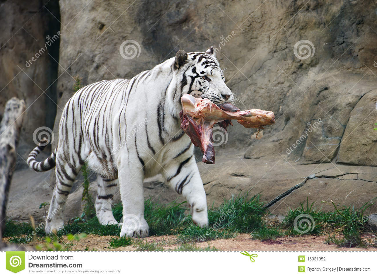 White Tiger With A Pie...