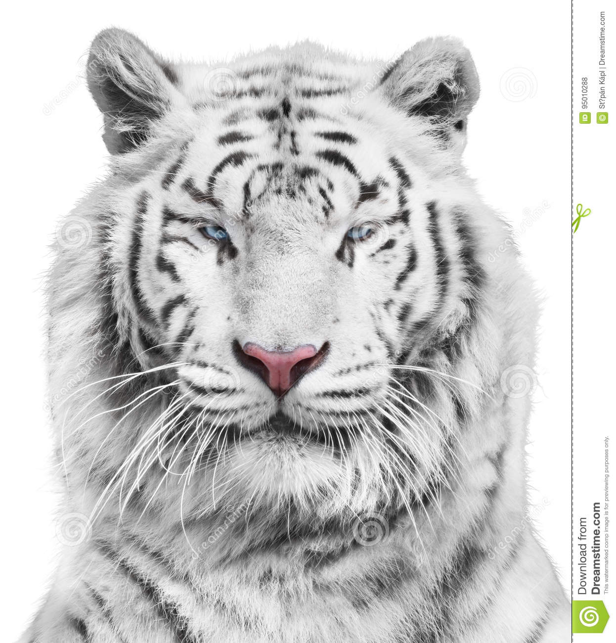 white tiger stock photo image of beast, black, face 95010288portrait of magnificent white tiger