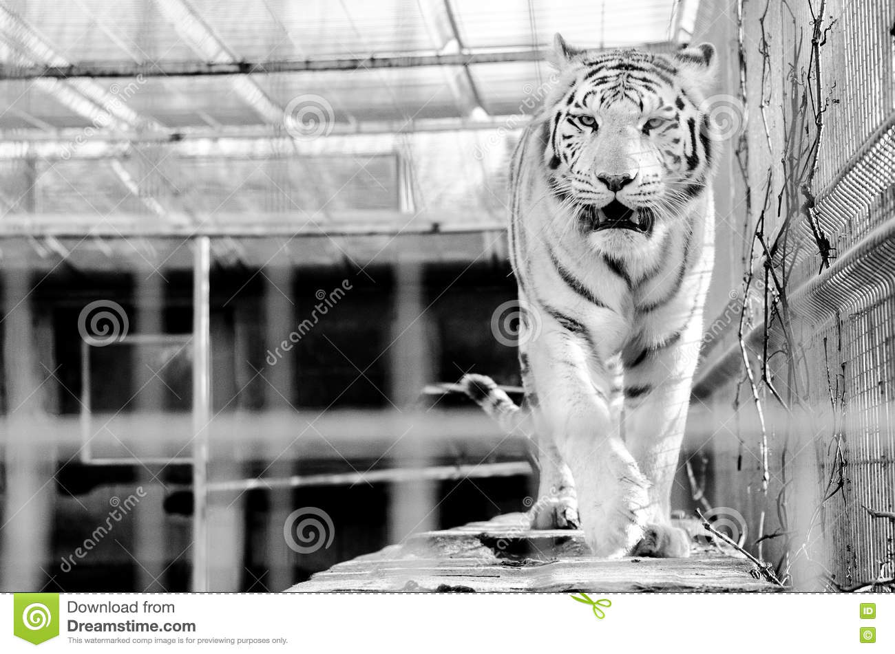 White tiger roar