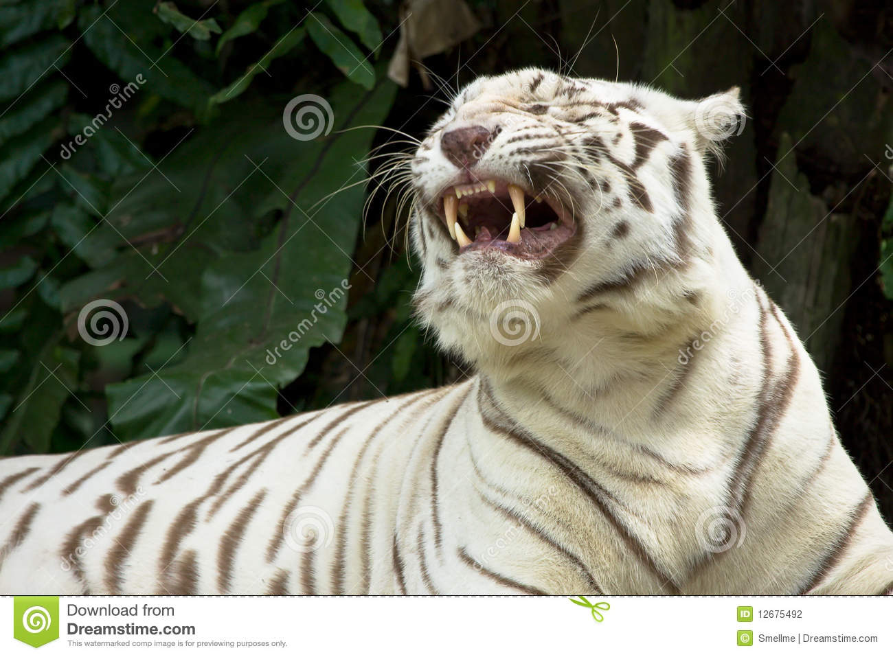 white tiger showing teeth stock photography image 12675492 tooth clipart patterns tooth clipart black and white