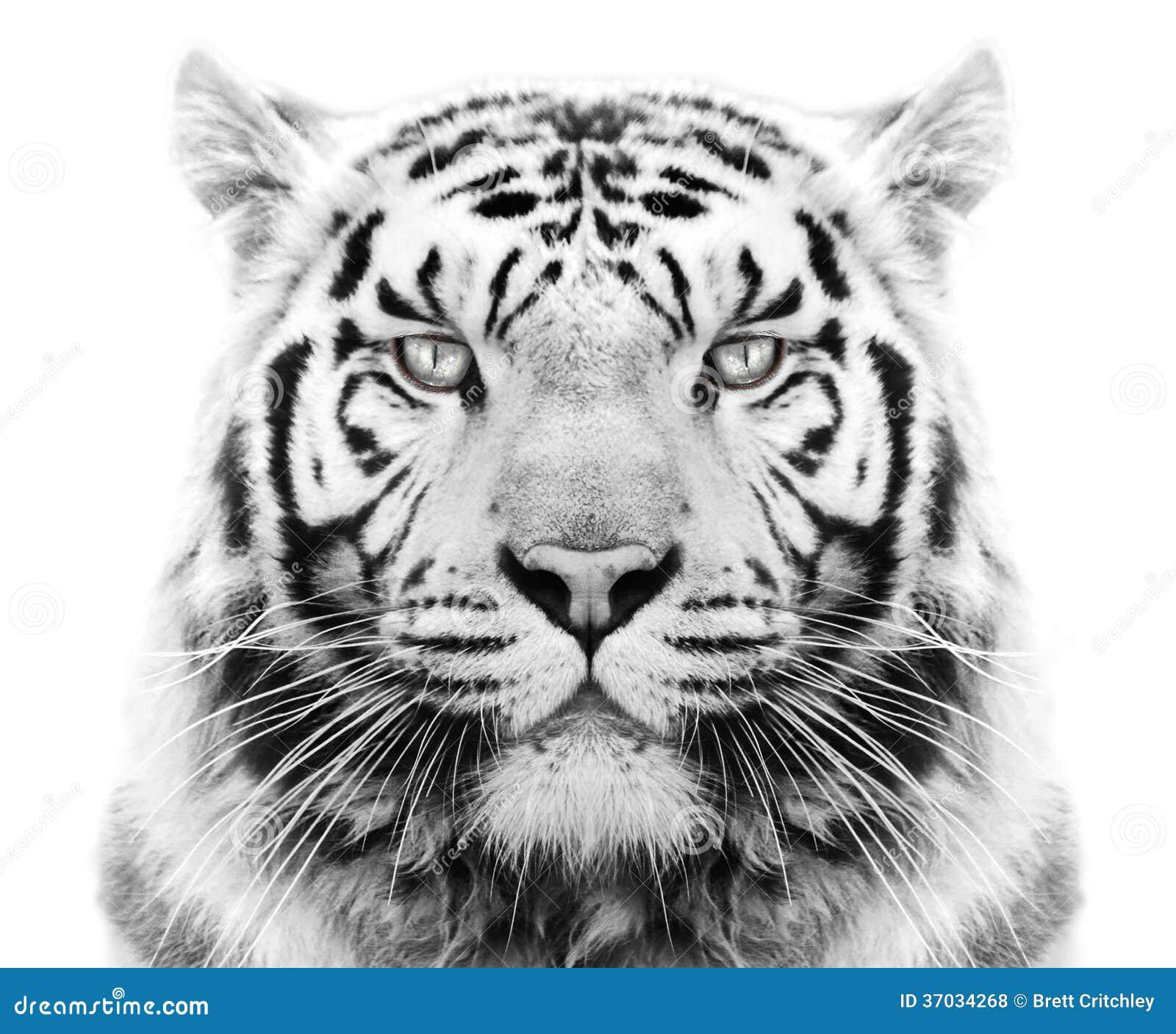White siberian tiger in snow - photo#25