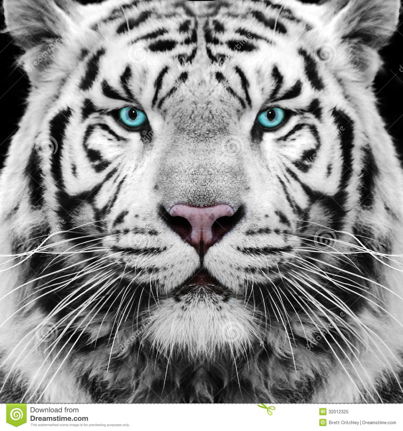 white tiger roaring face