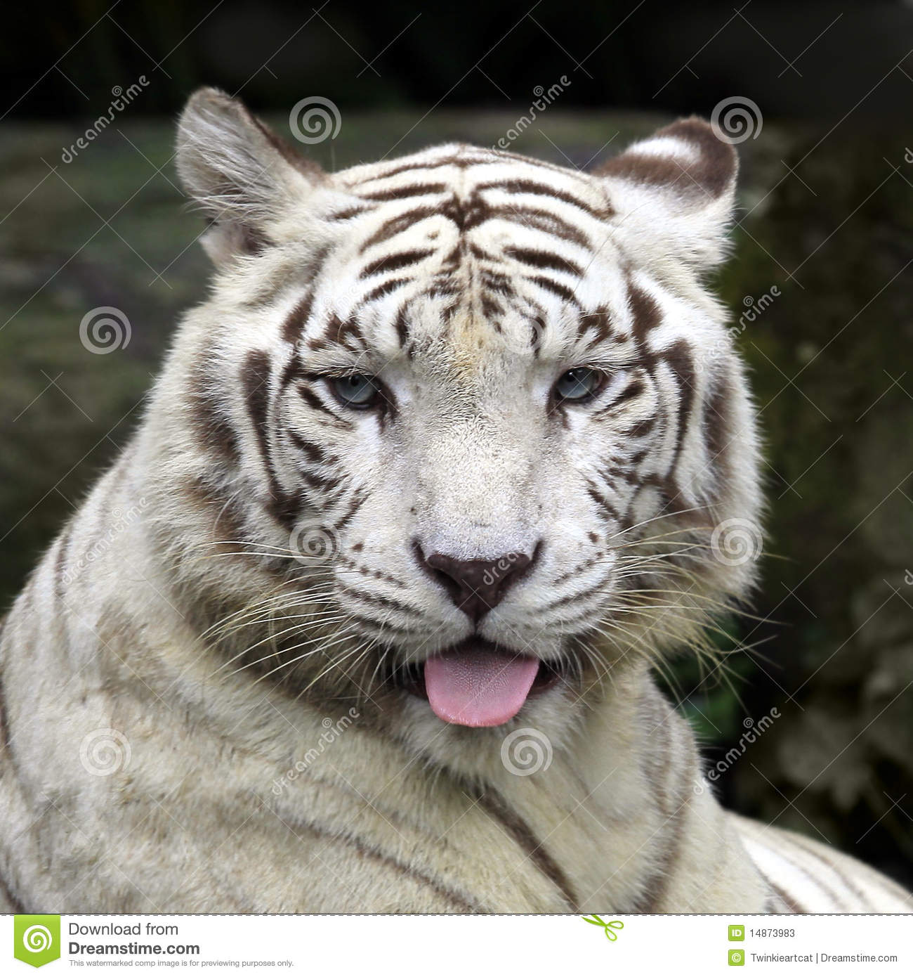 White Tiger Smiling Stock Photos - Image: 14873983