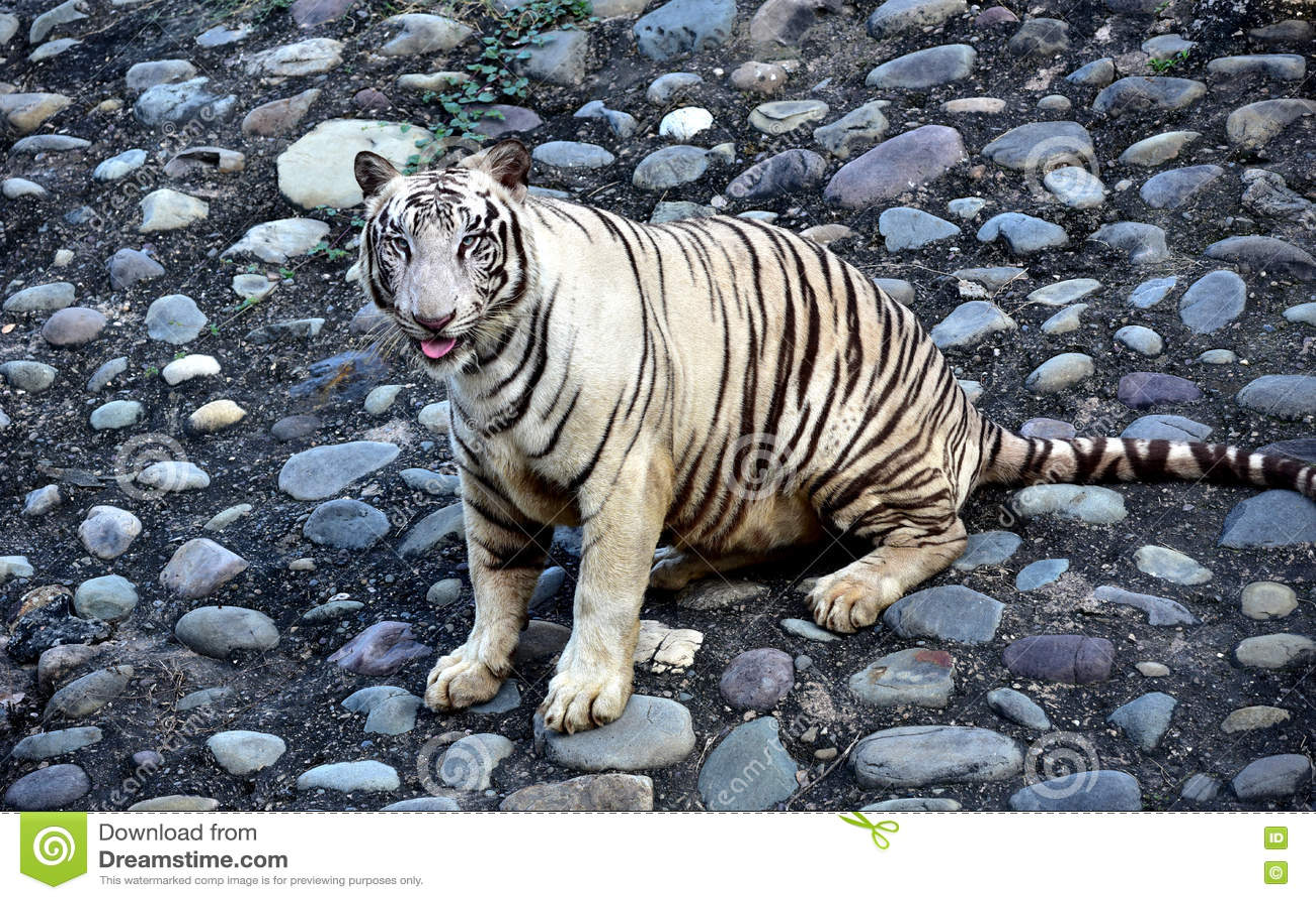 white tiger stock image image of captive tigers skin 72288843
