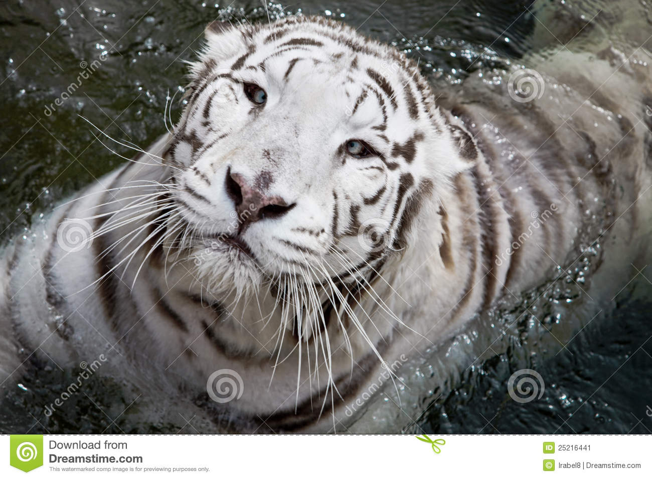 White Tiger In Water S...