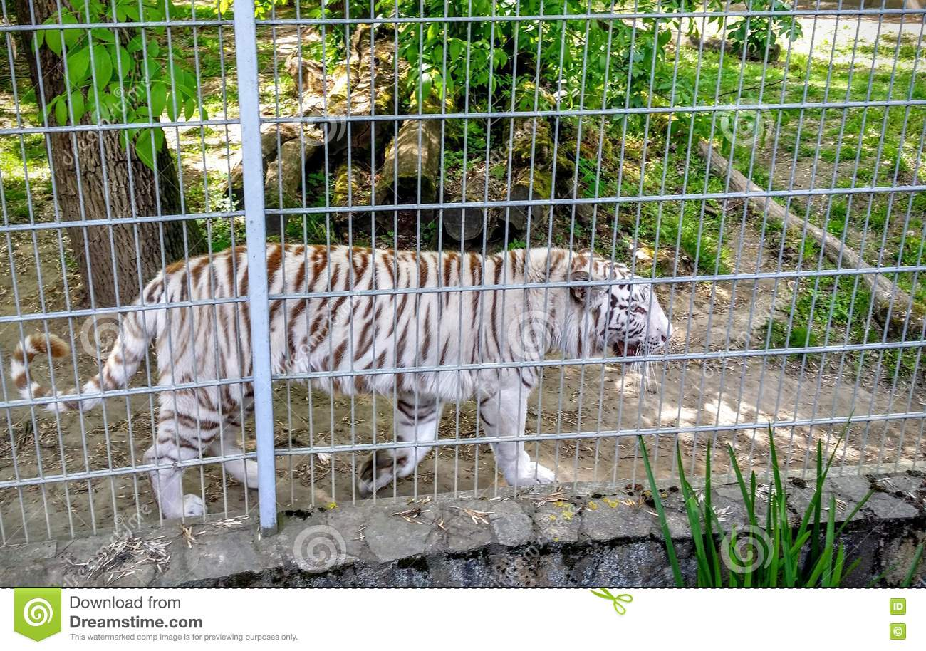 White tigers in a cage stock photo image of rare wild 78324052 - Tiger in cage images ...