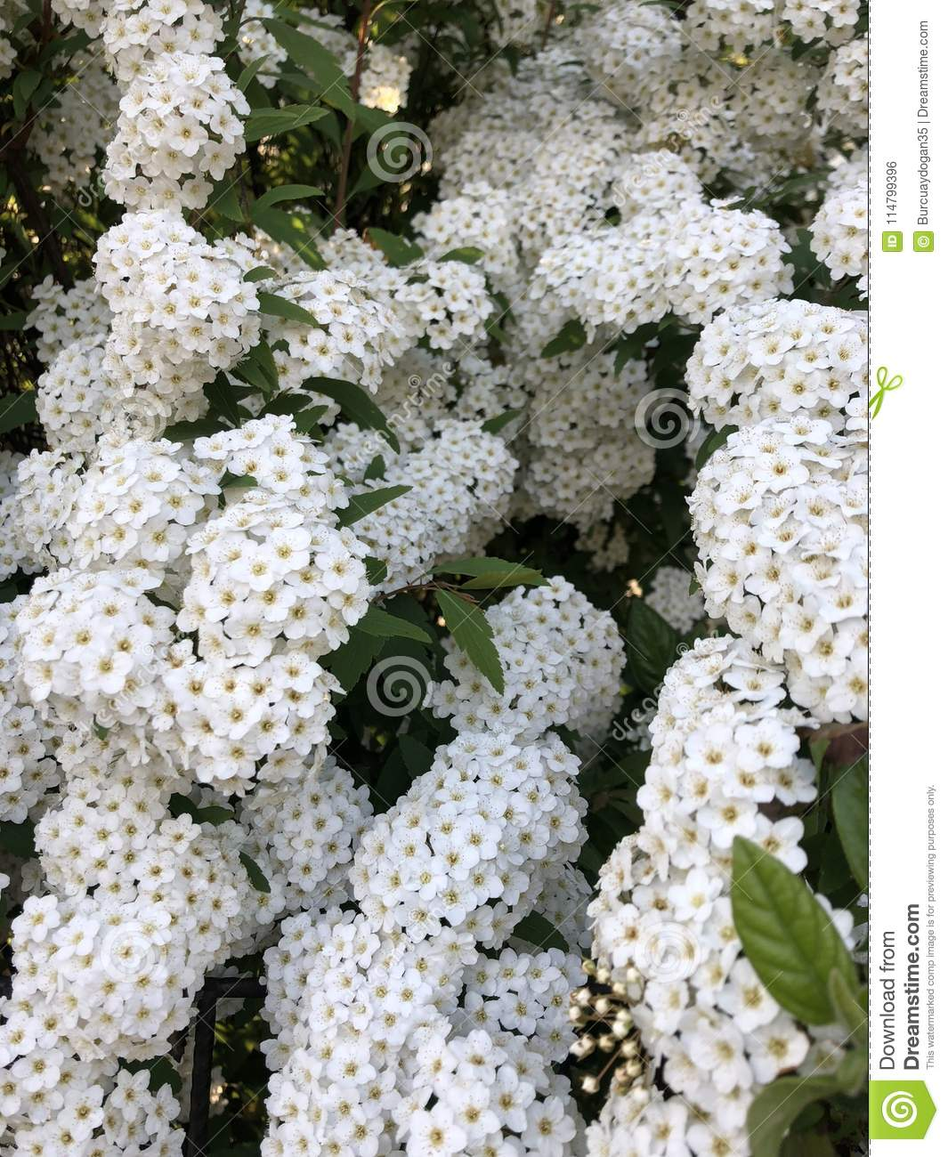 White Tiny Cute Flowers With Green Leafs Stock Photo Image Of Yard