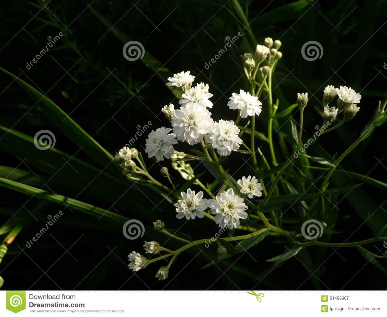 White Tiny Delicate Flowers Growing In The Garden Stock Image