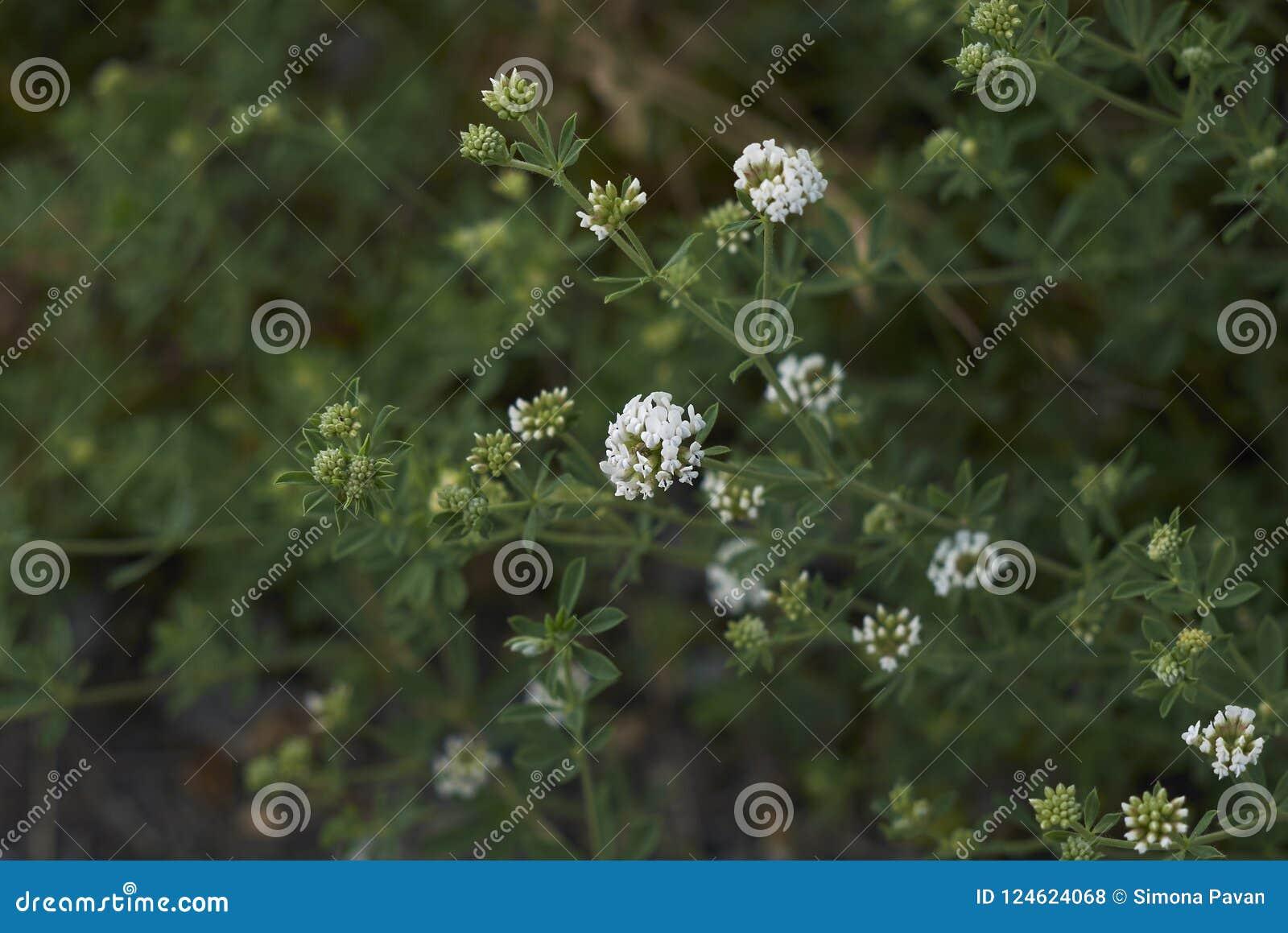 White tiny flowers of dorycnium pentaphyllum plant stock photo download white tiny flowers of dorycnium pentaphyllum plant stock photo image of perennial fabaceae mightylinksfo