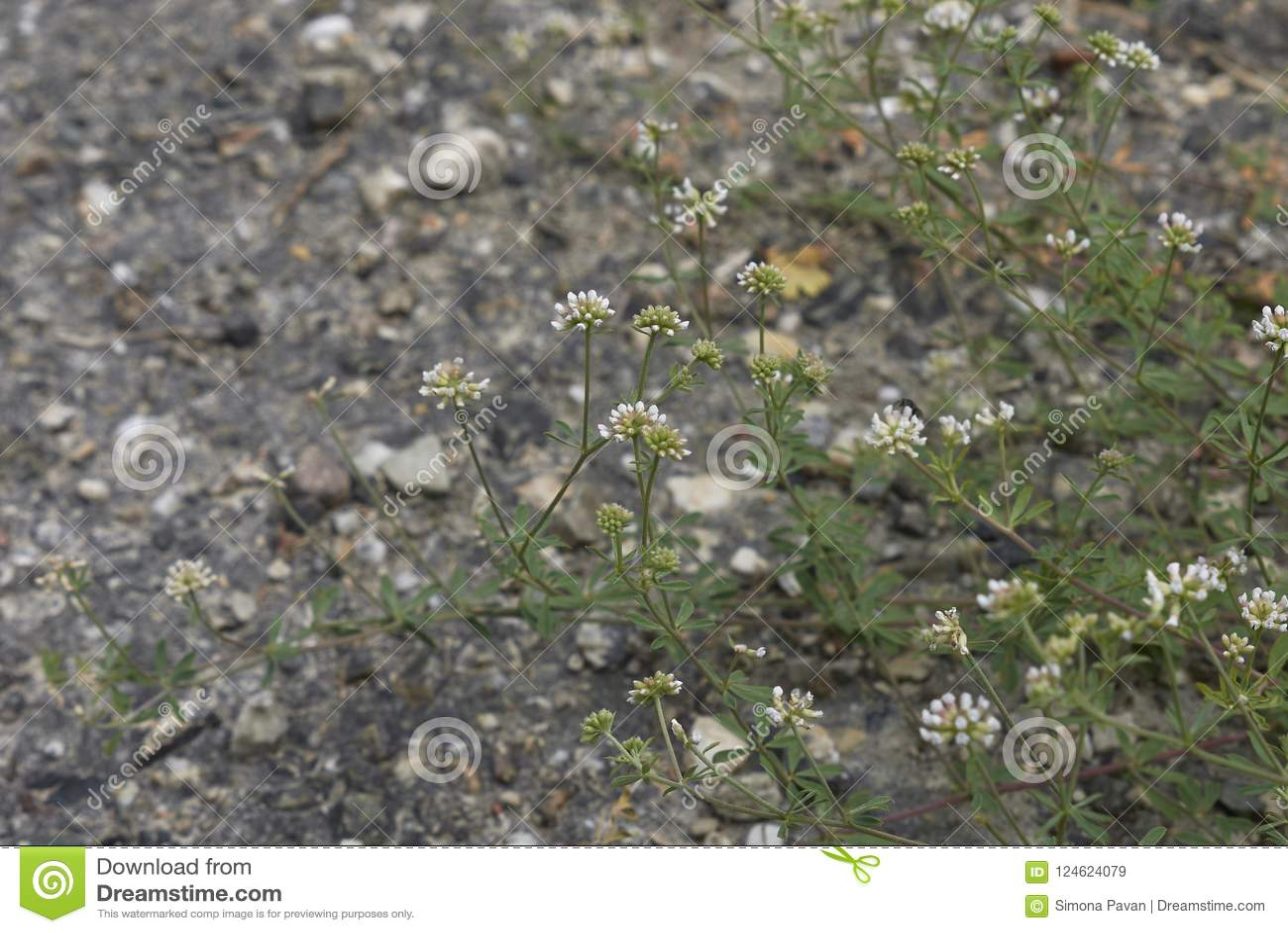White tiny flowers of dorycnium pentaphyllum plant stock image download white tiny flowers of dorycnium pentaphyllum plant stock image image of perennial flower mightylinksfo