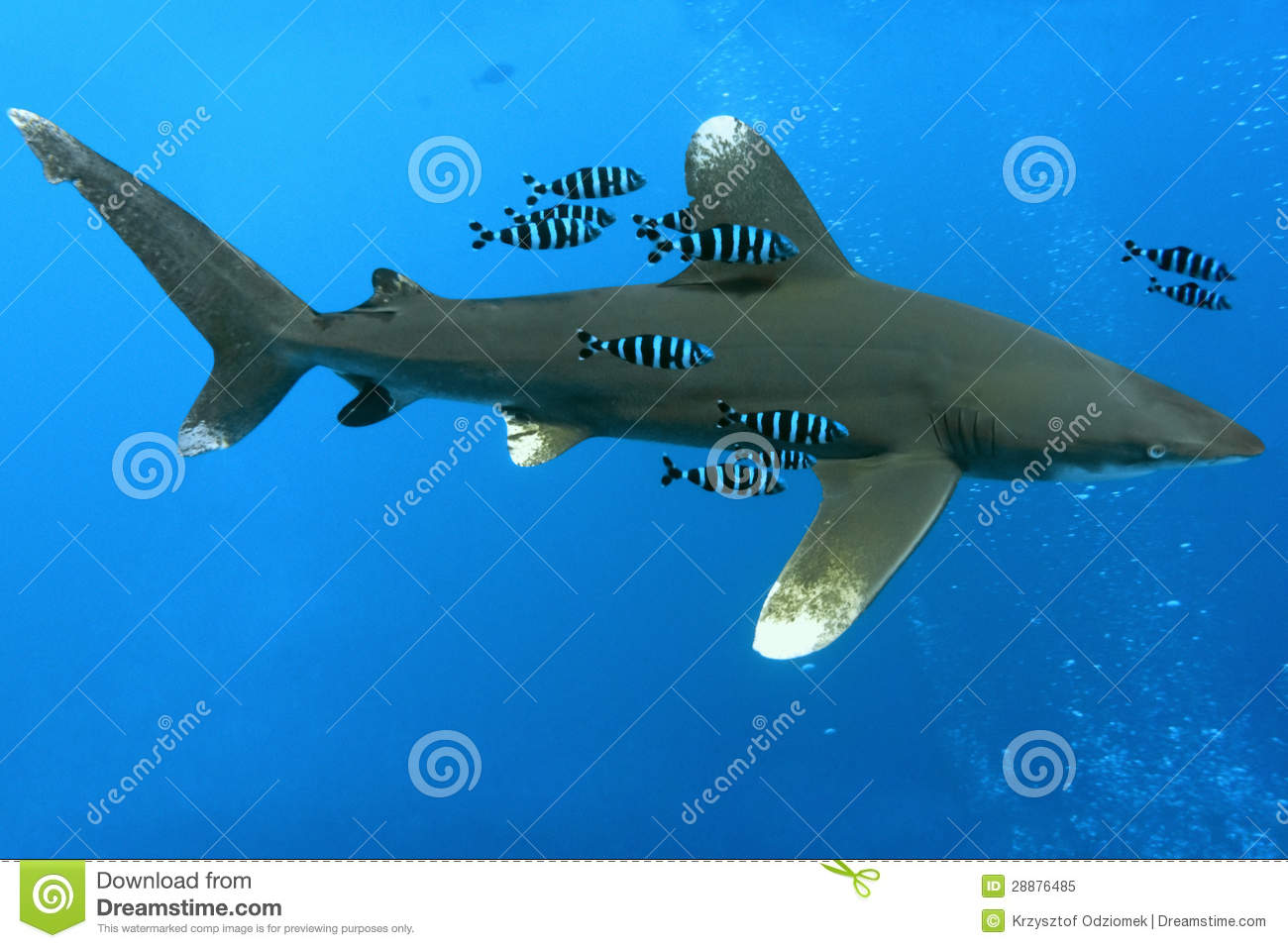 White tip oceanic shark