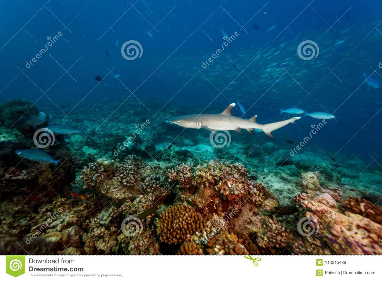 White tip reef shark, Triaenodon obesus, swims over hard coral on reef closeup