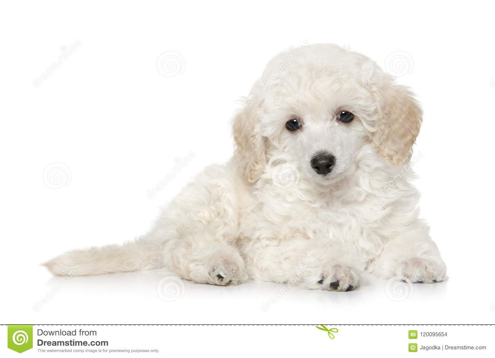 White Toy Poodle Puppy On White Background Stock Photo Image Of Miniature Lying 120095654