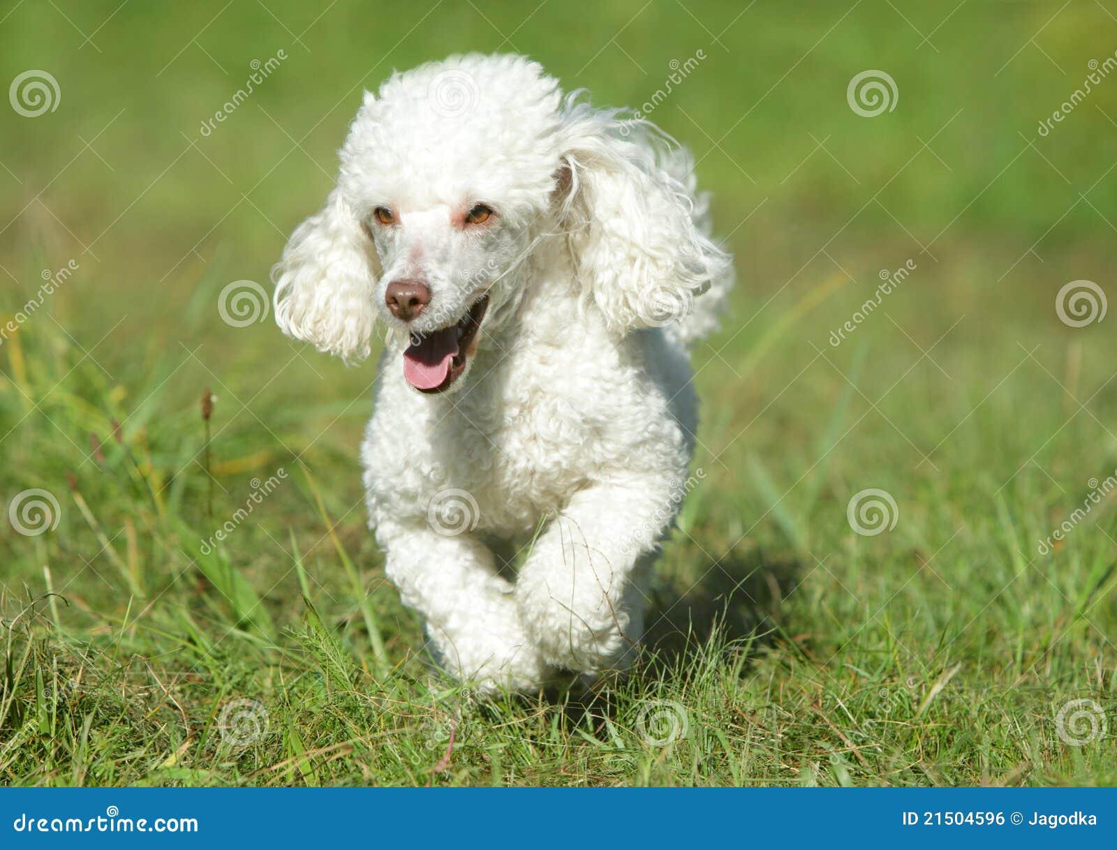 сонник щенок белый пудель меня сухая