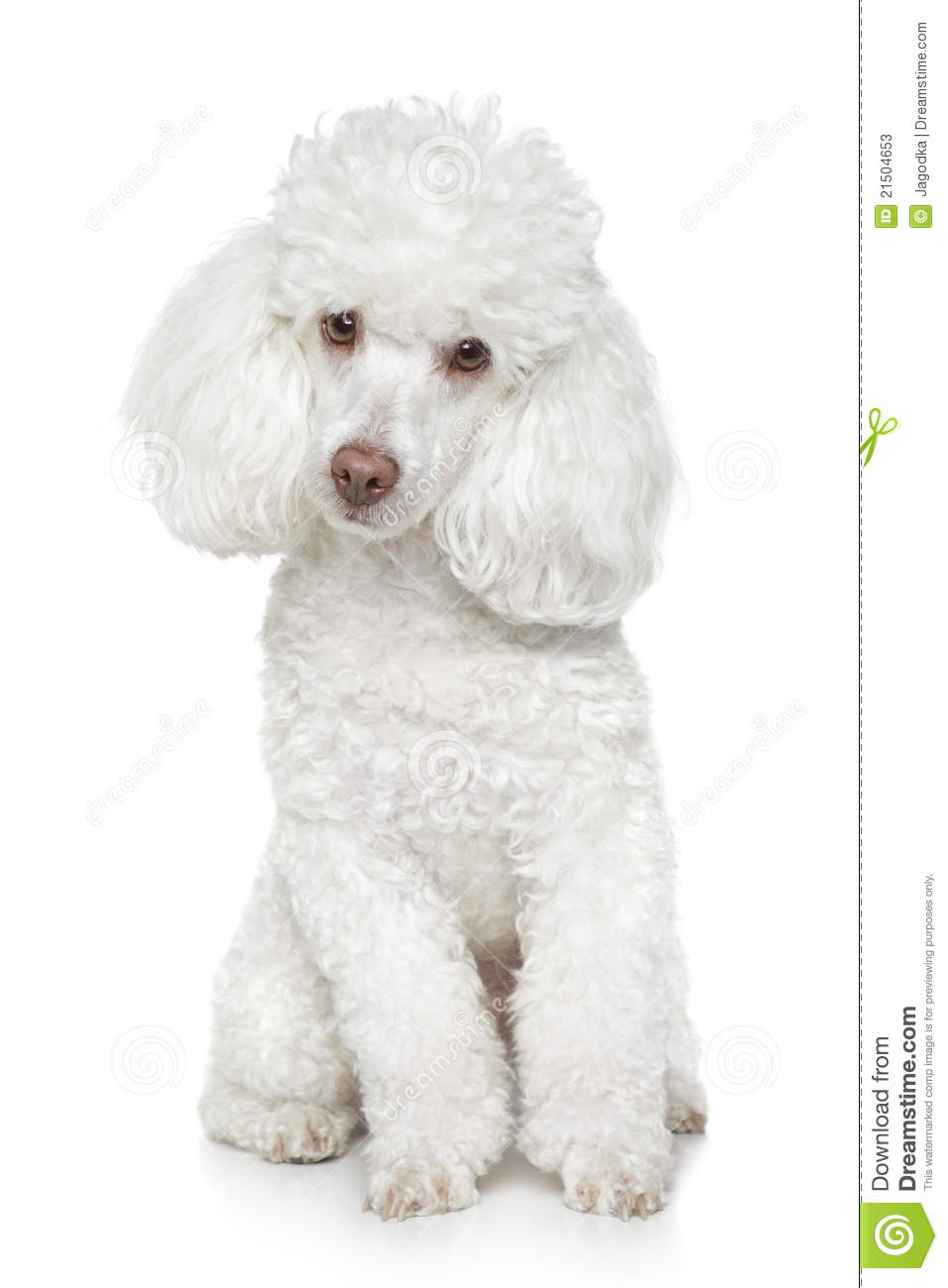 Z Poodles White Toy Poodle On Wh...