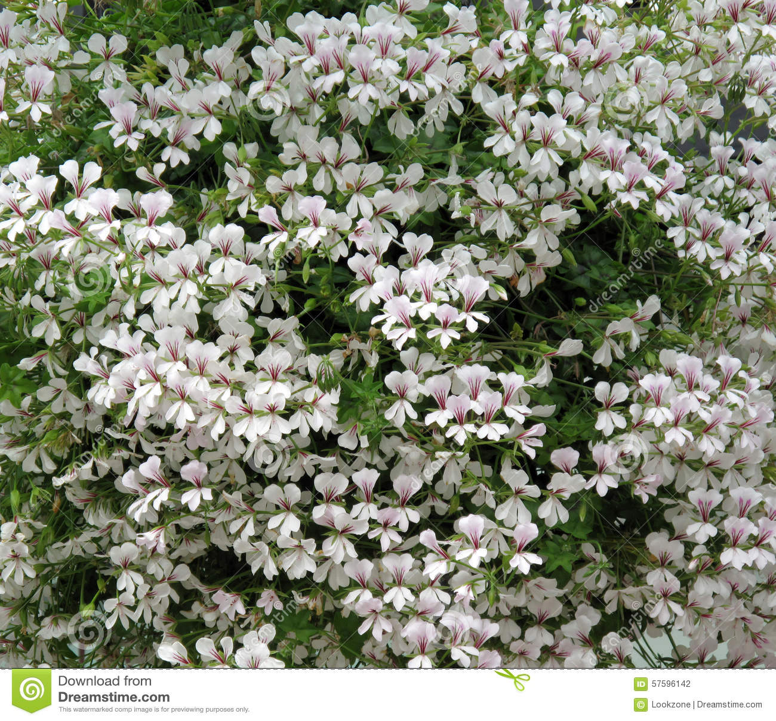 White Trailing Geranium Flowers Stock Photo Image Of Decorative