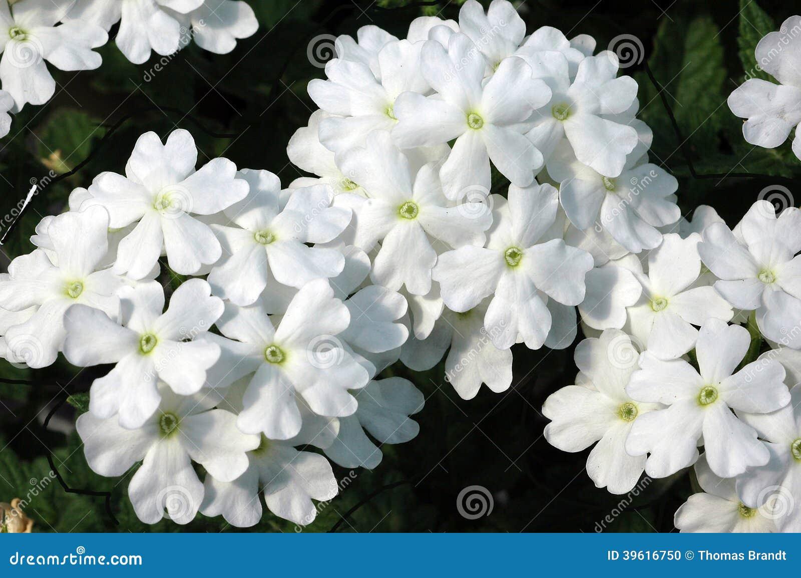 White Trailing Verbena Flowers Stock Photo - Image: 39616750