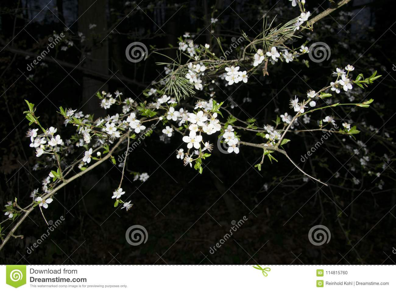 White Tree Flowers In The Night Stock Photo Image Of Bavaria City