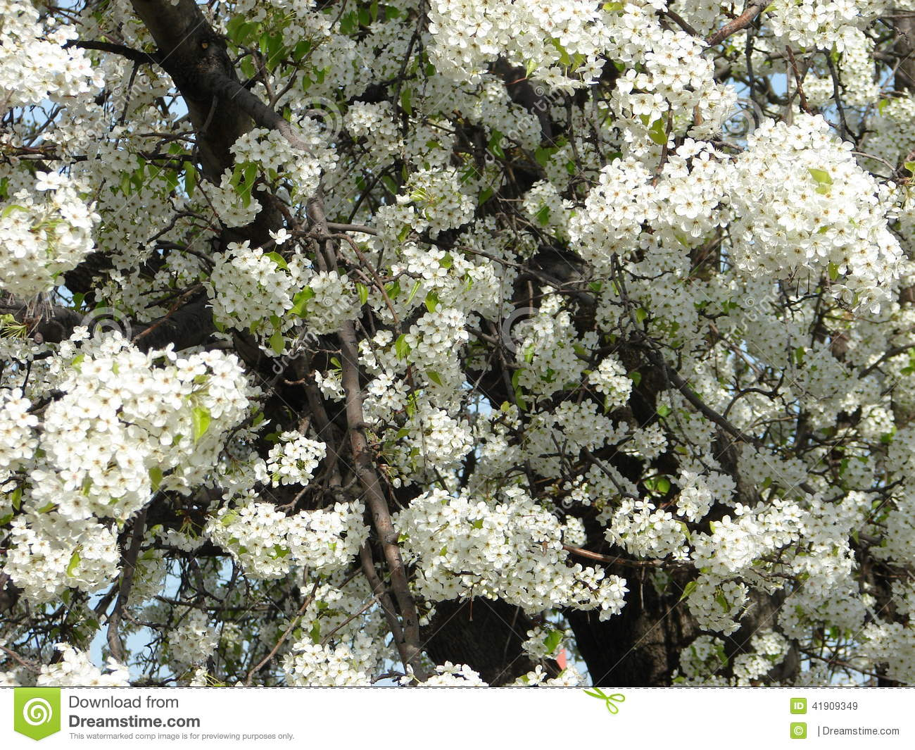 White Tree Stock Image Image Of Small White Flowers 41909349