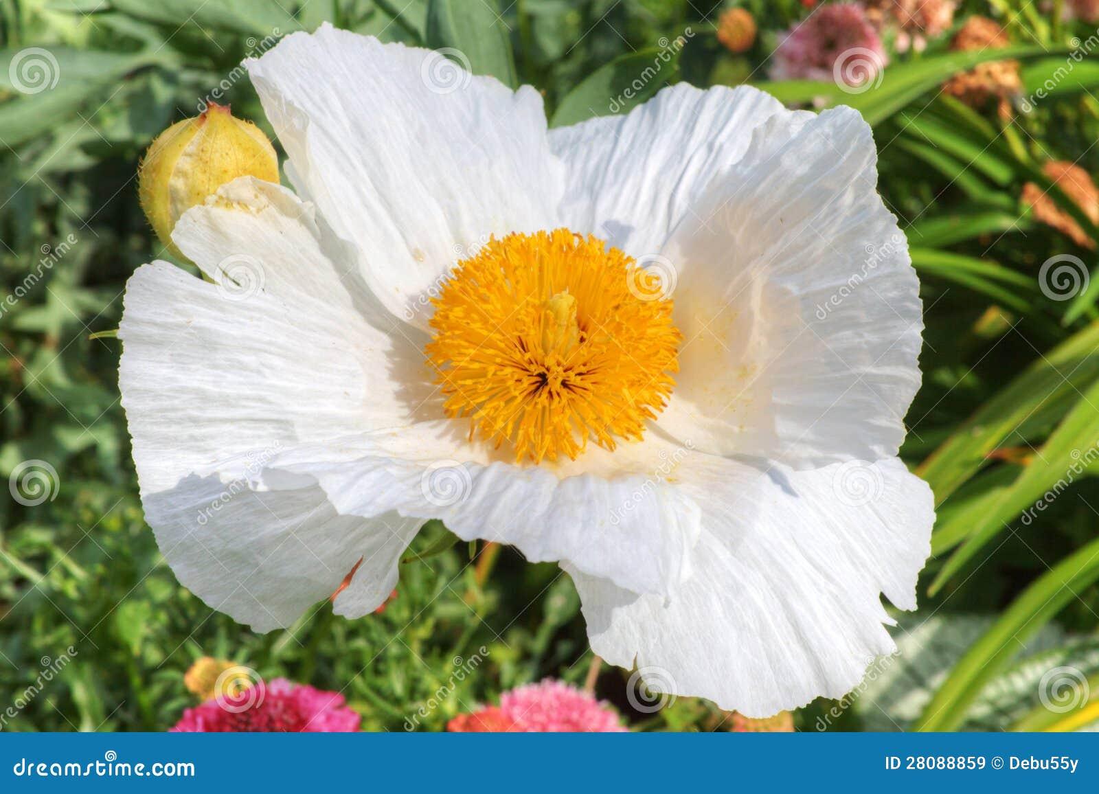 White Tree Poppy Flower Stock Image Image Of Matillija 28088859