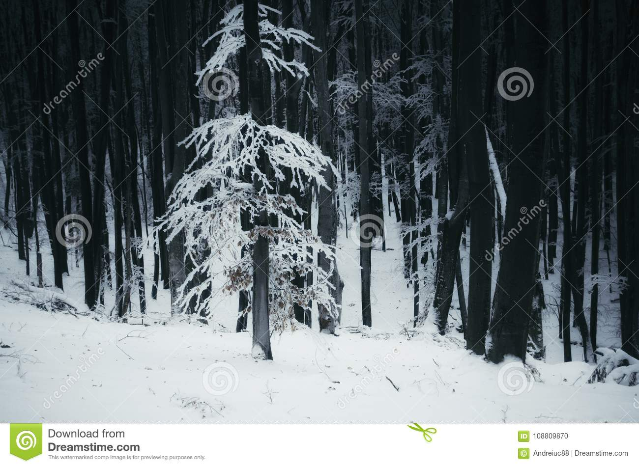 white tree with snow in dark winter forest stock photo image of