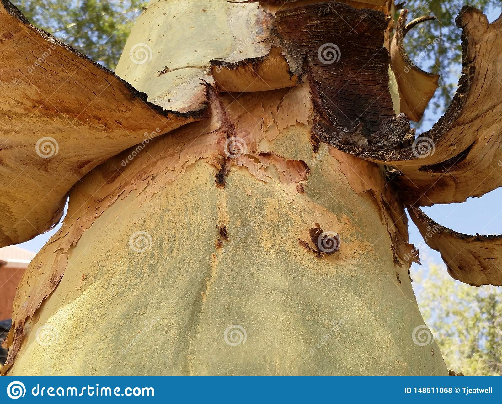 Tree trunk and bark peeling off