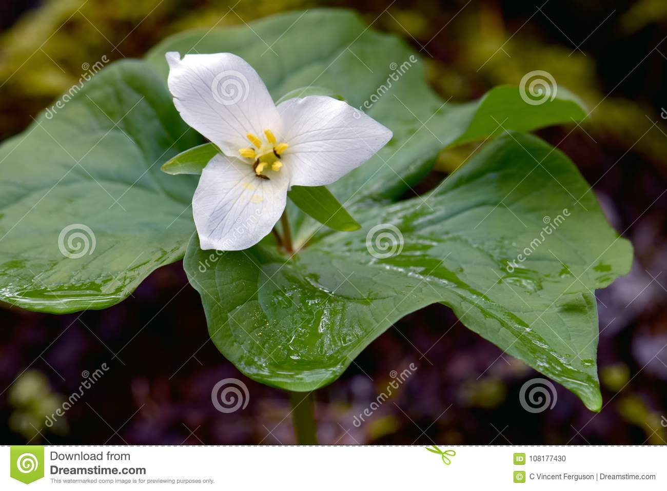 White trillium flower detail stock photo image of grandiflorum white trillium flower with green leaves yellow anthers wet with morning dew mightylinksfo
