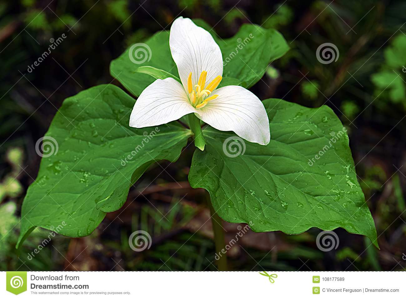White Trillium Flower With Leaf Stock Image Image Of Green