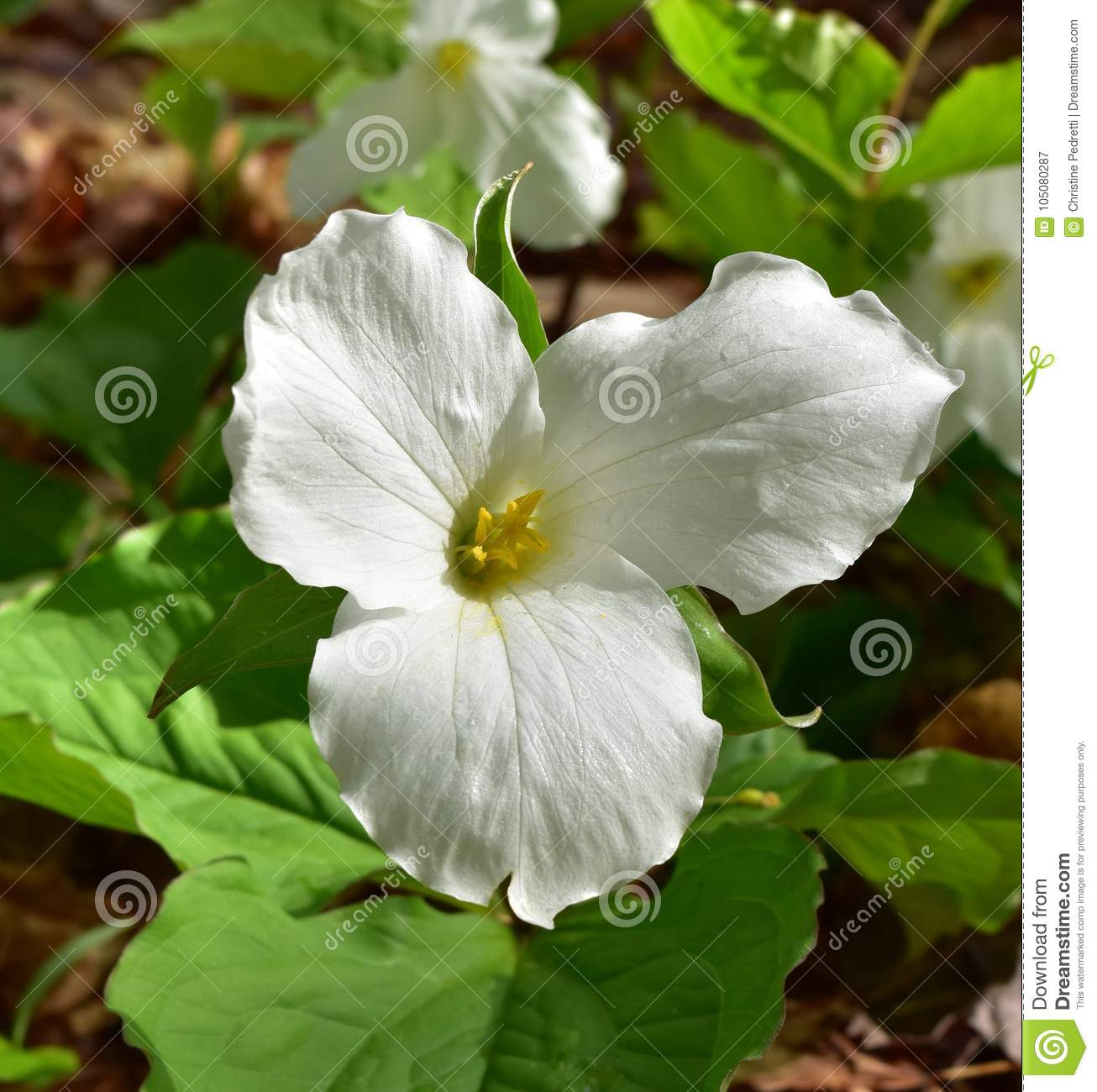 White Trillium Flower Speckled With Dew Stock Image Image Of