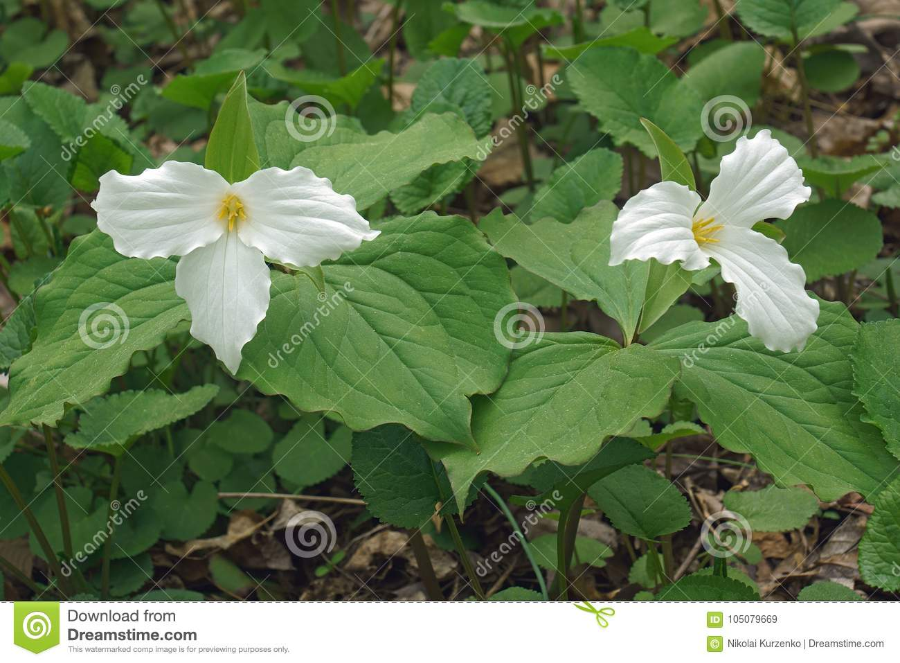 White Trillium Flowers Stock Image Image Of Great Trillium 105079669