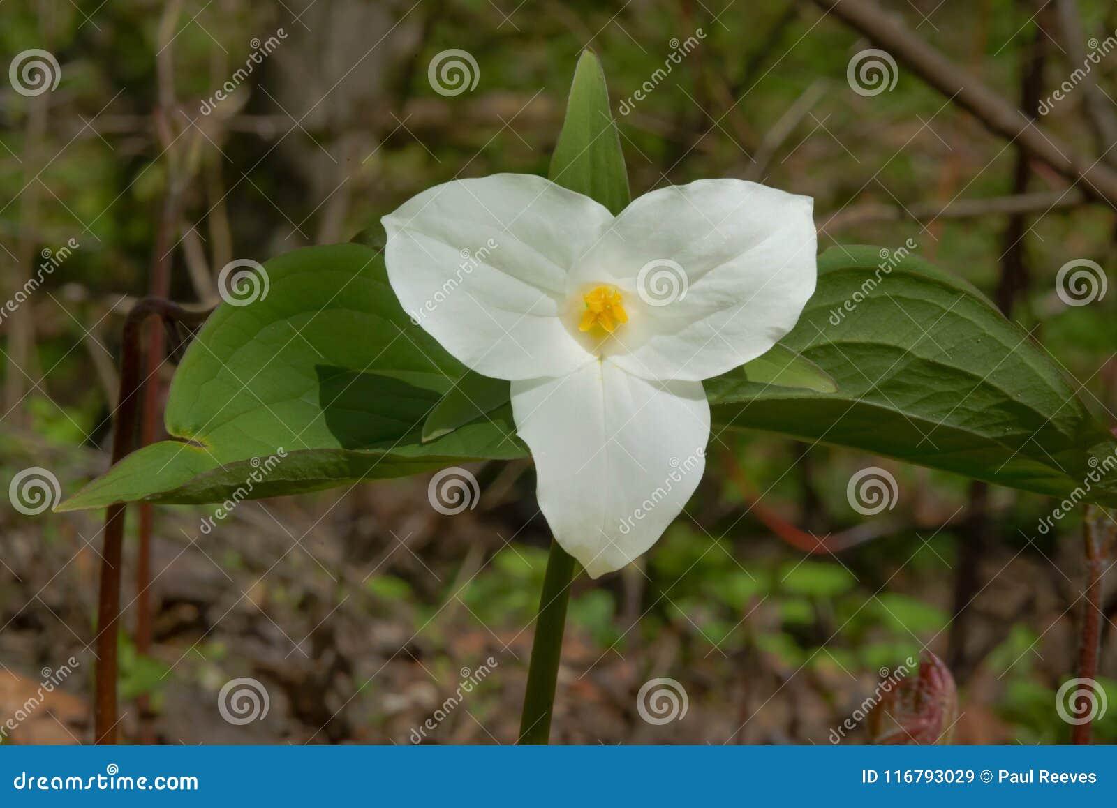 Download White Trillium - Trillium Grandiflorum Stock Image - Image of environment, ontario: 116793029