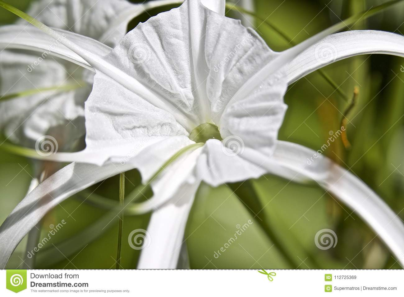 White Tropical Cultivated Flowers With Long Petals Stock Image