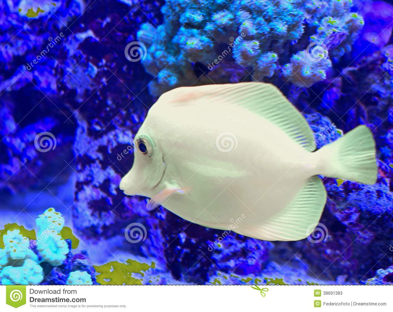 White tropical fish that swims stock image image 38691383 for Large aquarium fish