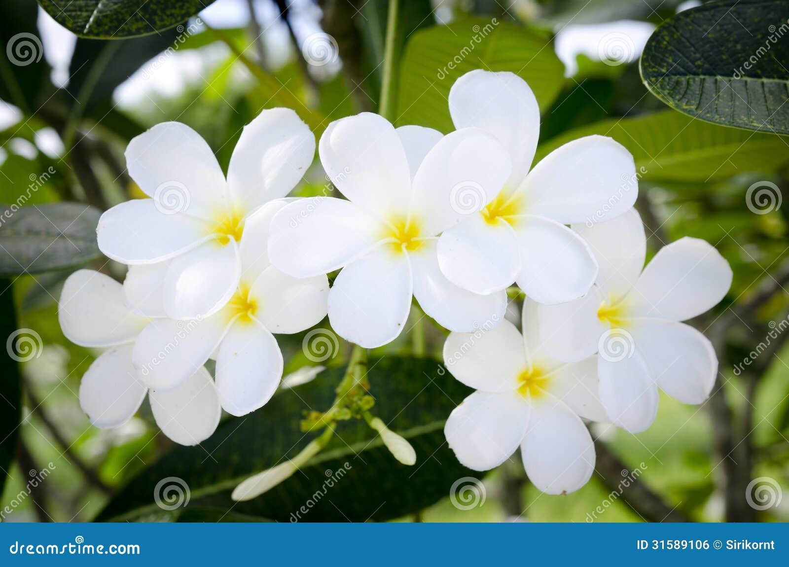 White Tropical Flower Stock Photo Image Of Freshness 31589106